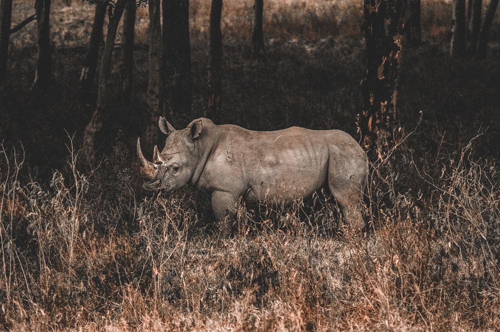 rhino on forest