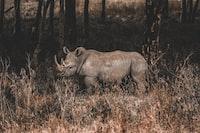 rhino on forest