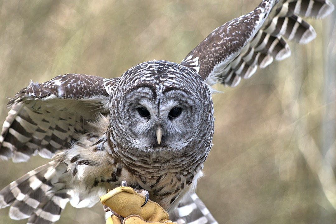 This owl is at the North Island Recovery Centre in B.C. Canada