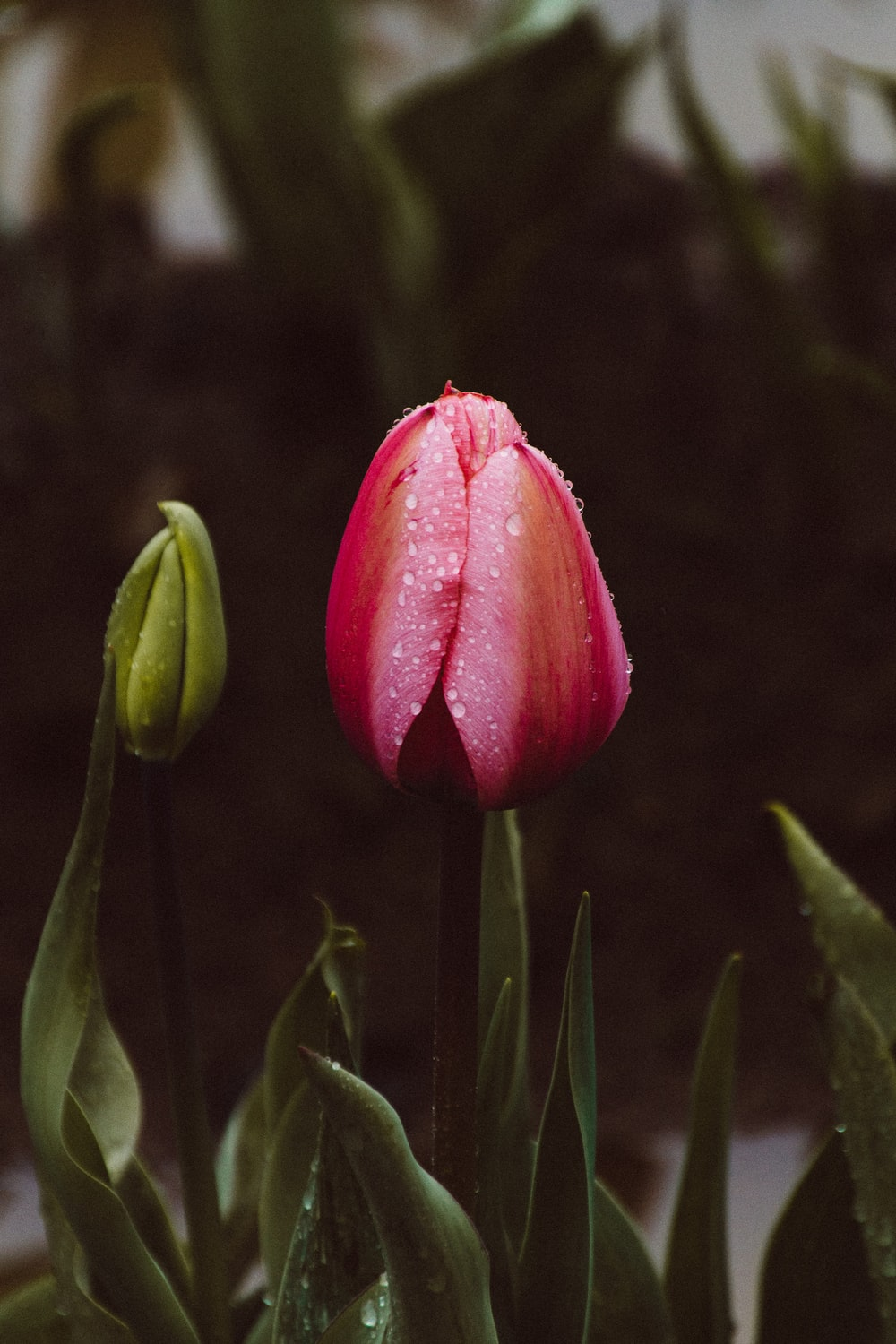 selective focus photography of pink petaled flower with water dew