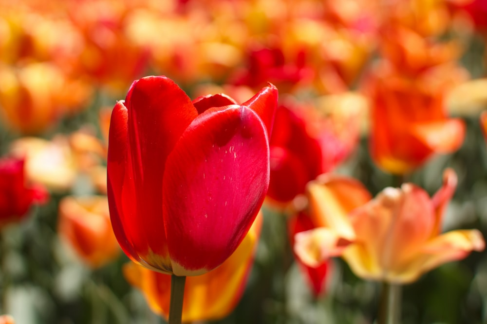 closeup photo of red tulip flower