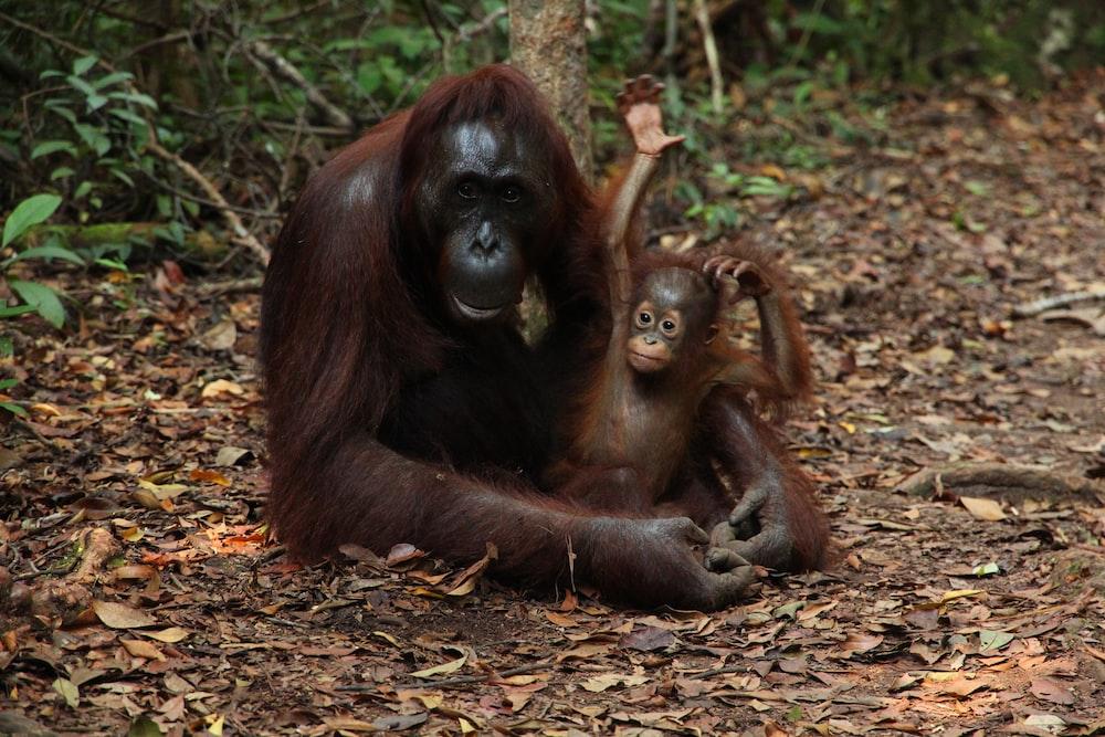 Chimpanzee hugging baby on land