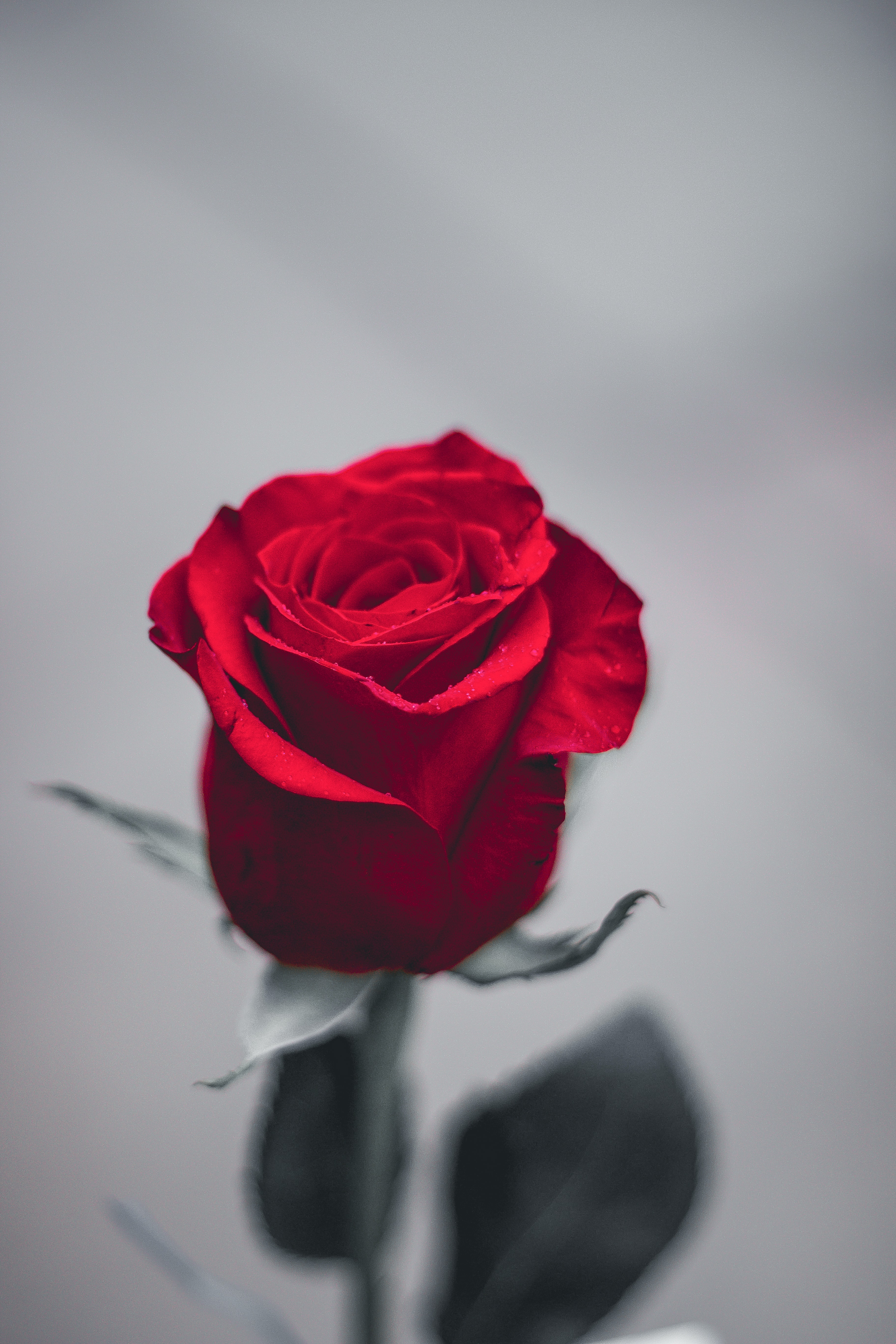 red rose