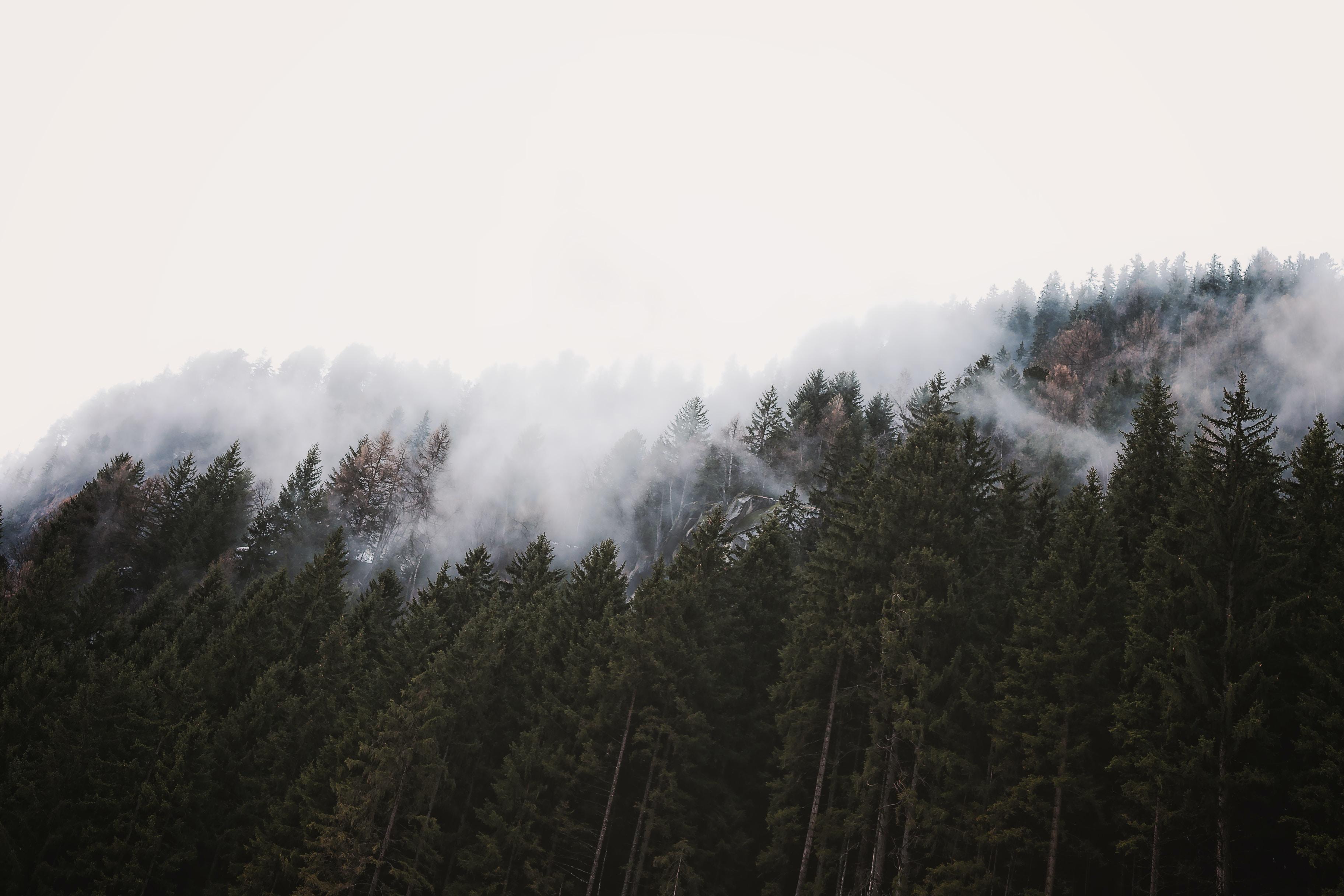 white fog on top of evergreen trees