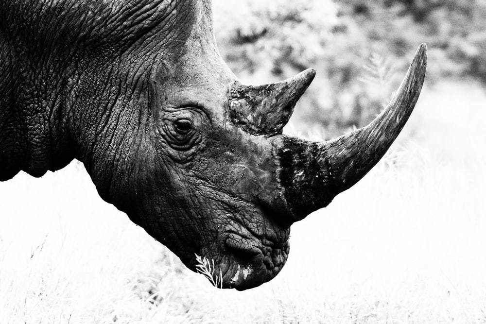 grayscale photo of rhinoceros