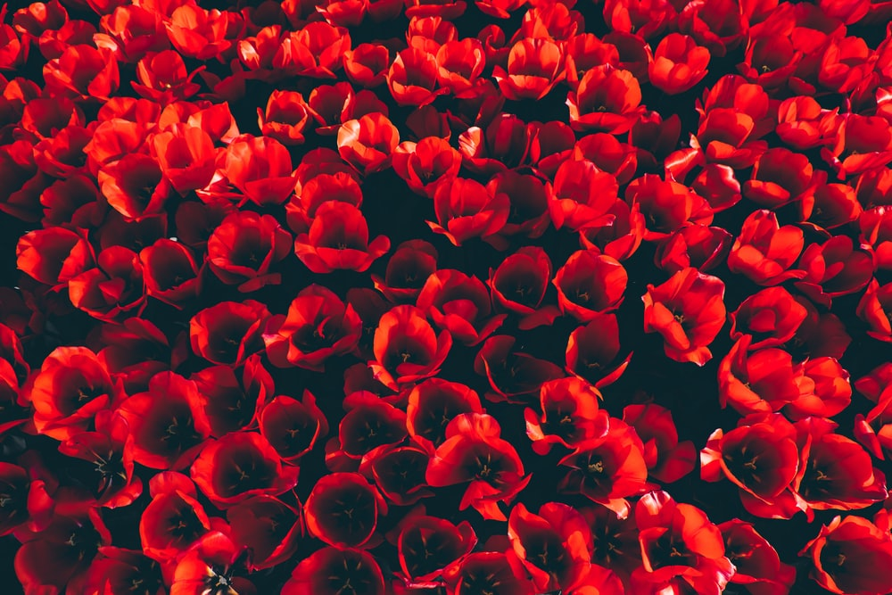 top view of red flowers