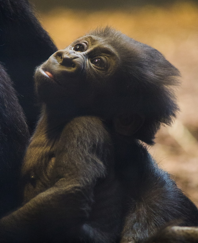 black baby gorilla