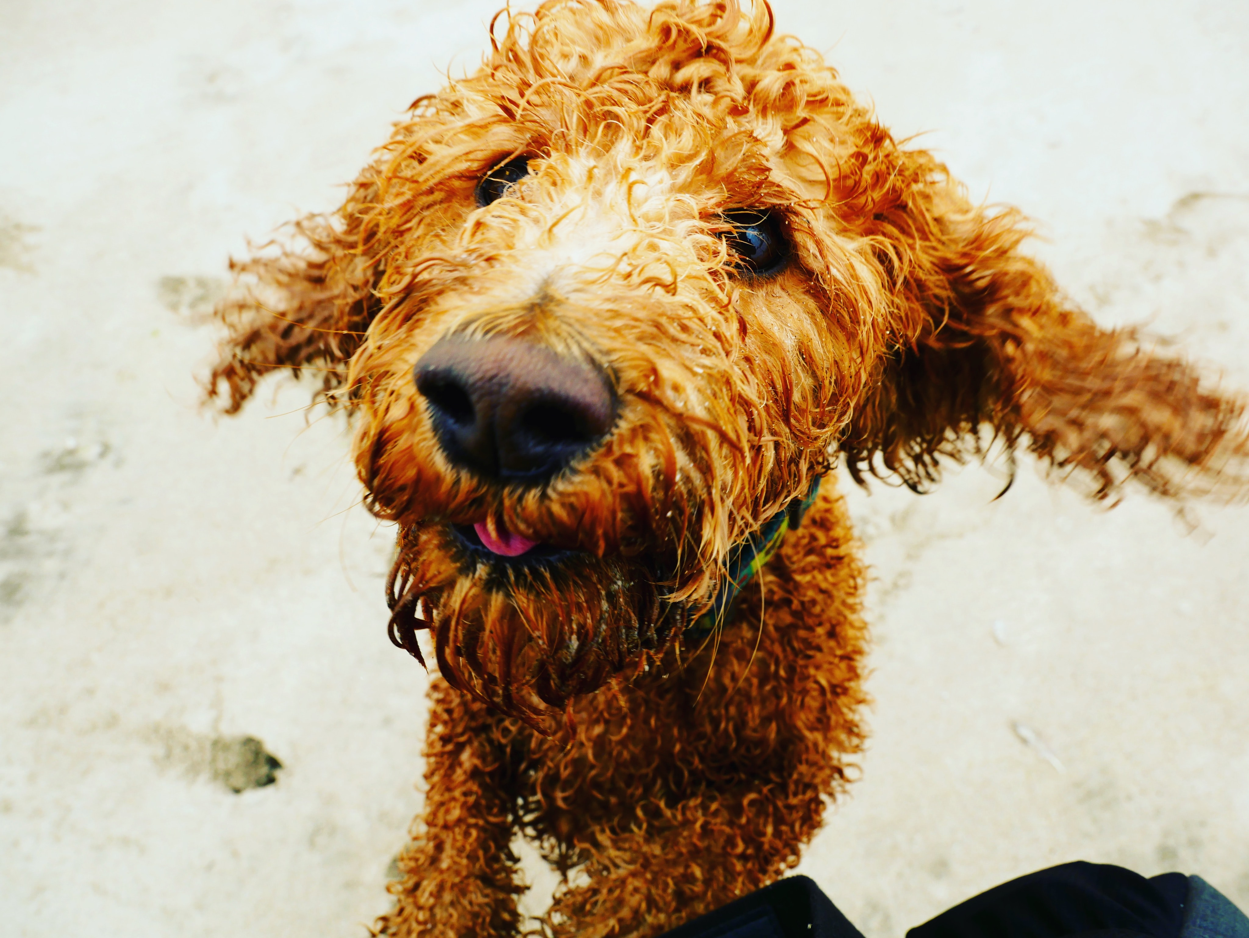 brown labradoodle on sand during daytime