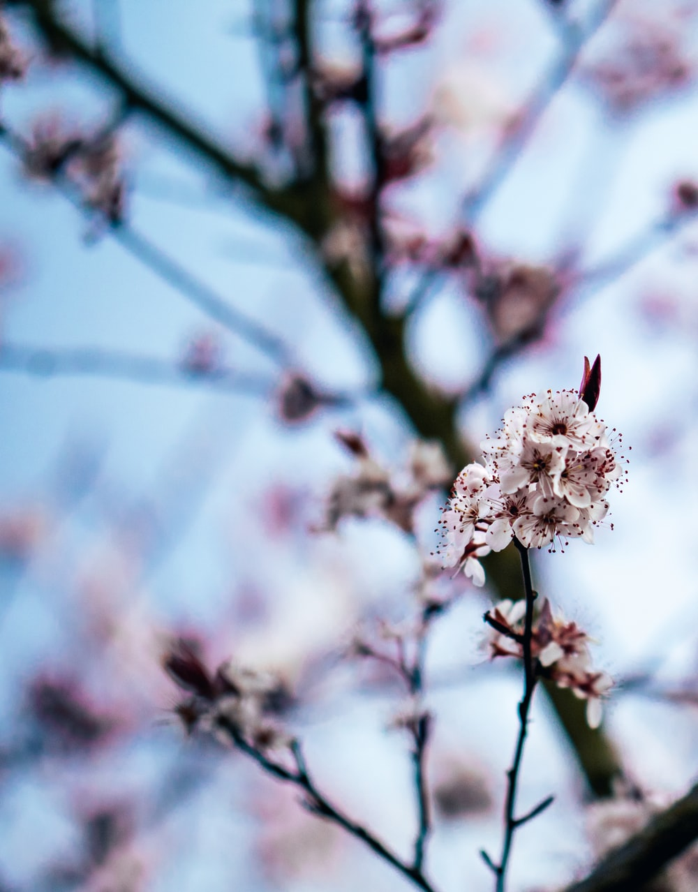 selective focus photography of a pink cherry blossom tree