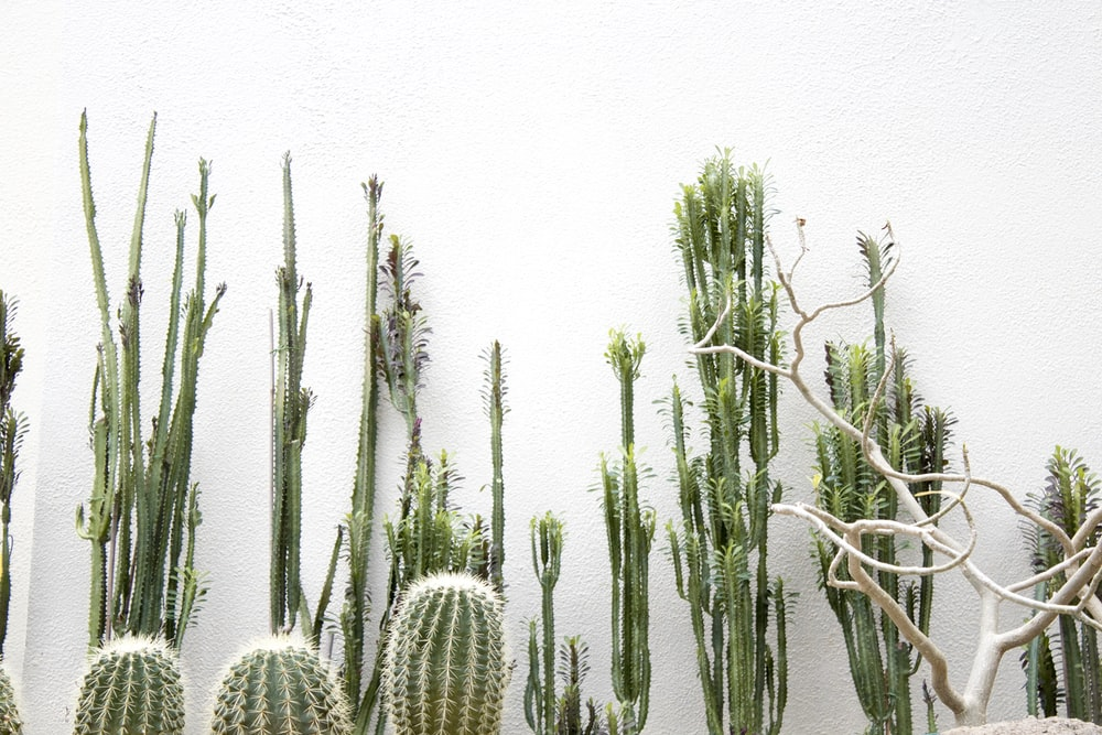 green cactus plants