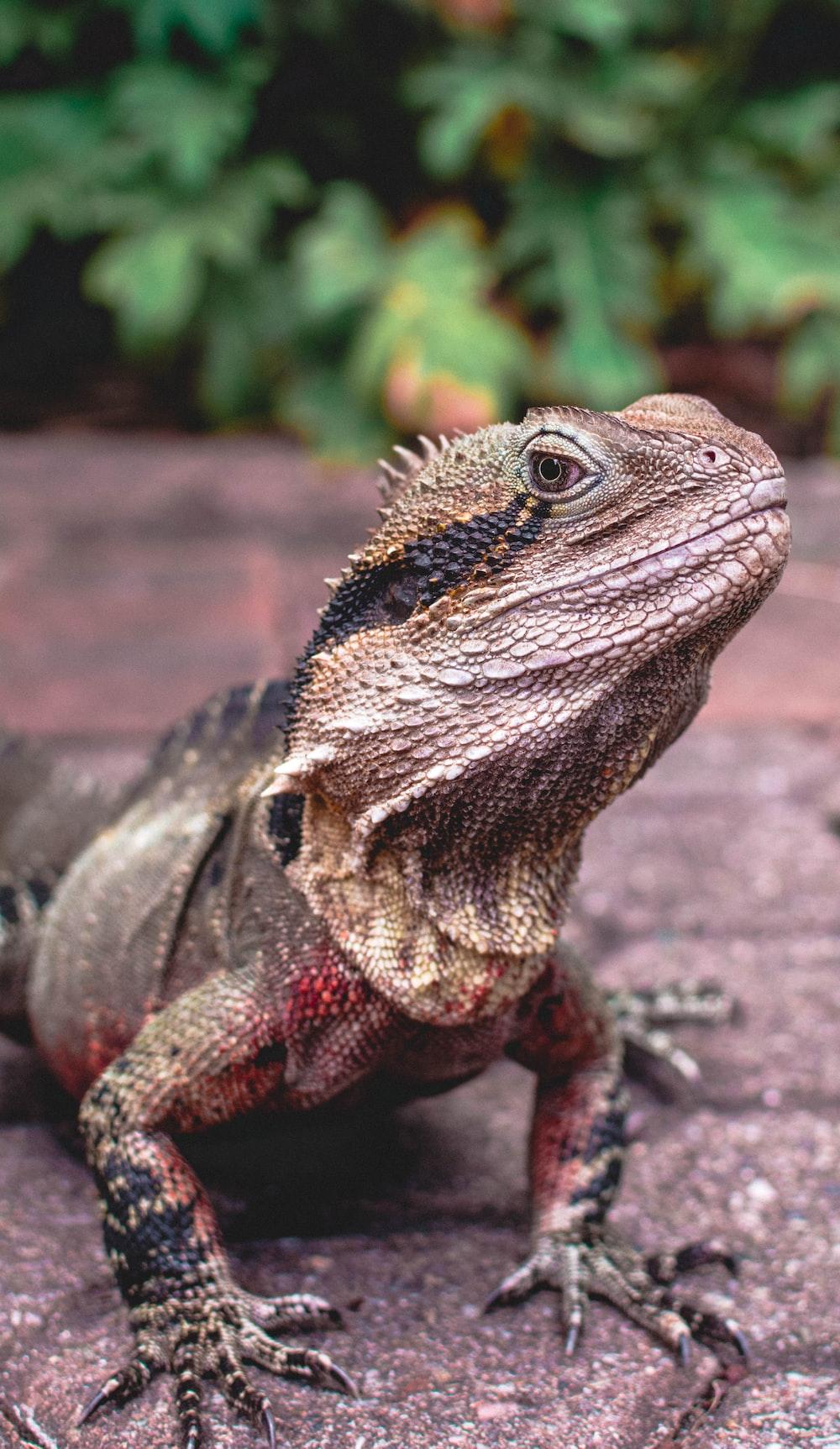 photo of brown iguana