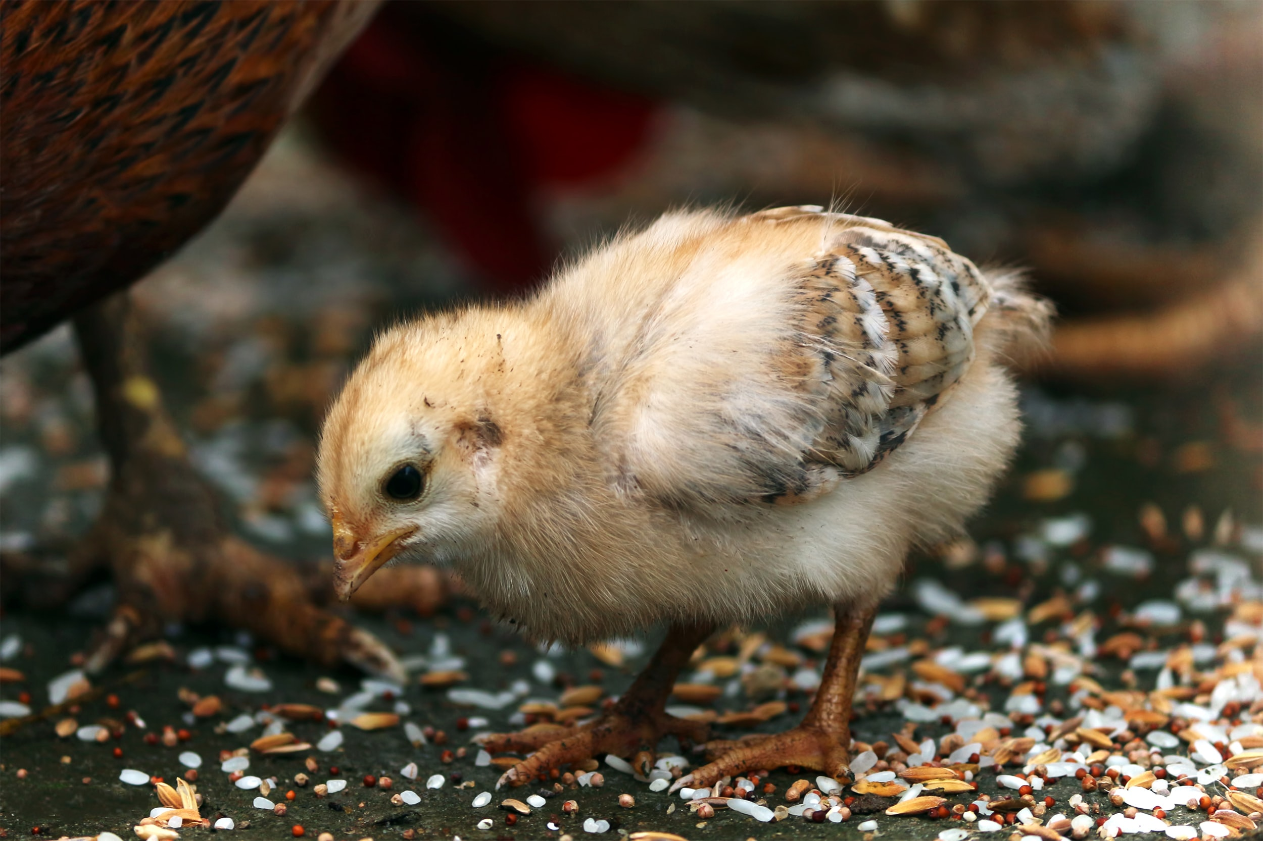 close-up photography of yellow chick eating rice