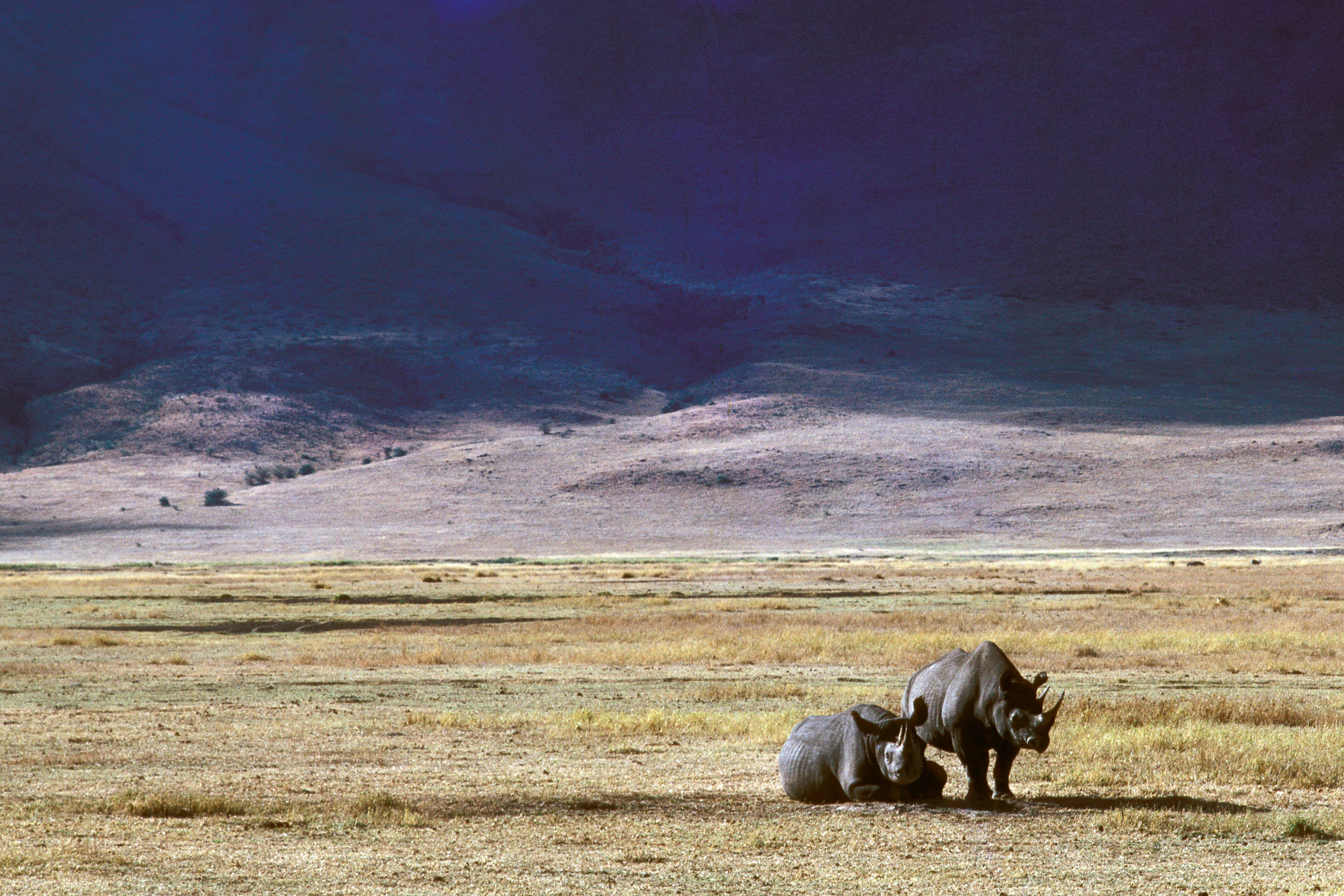 two gray rhinoceros resting on plain field