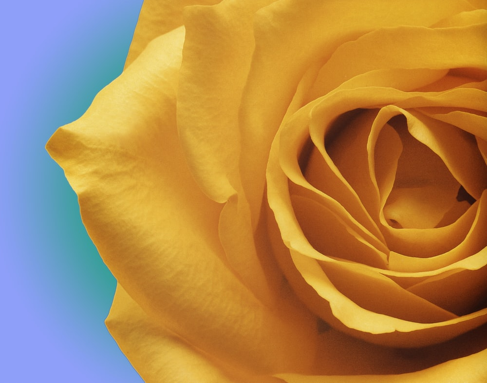 closeup photo of yellow rose flower