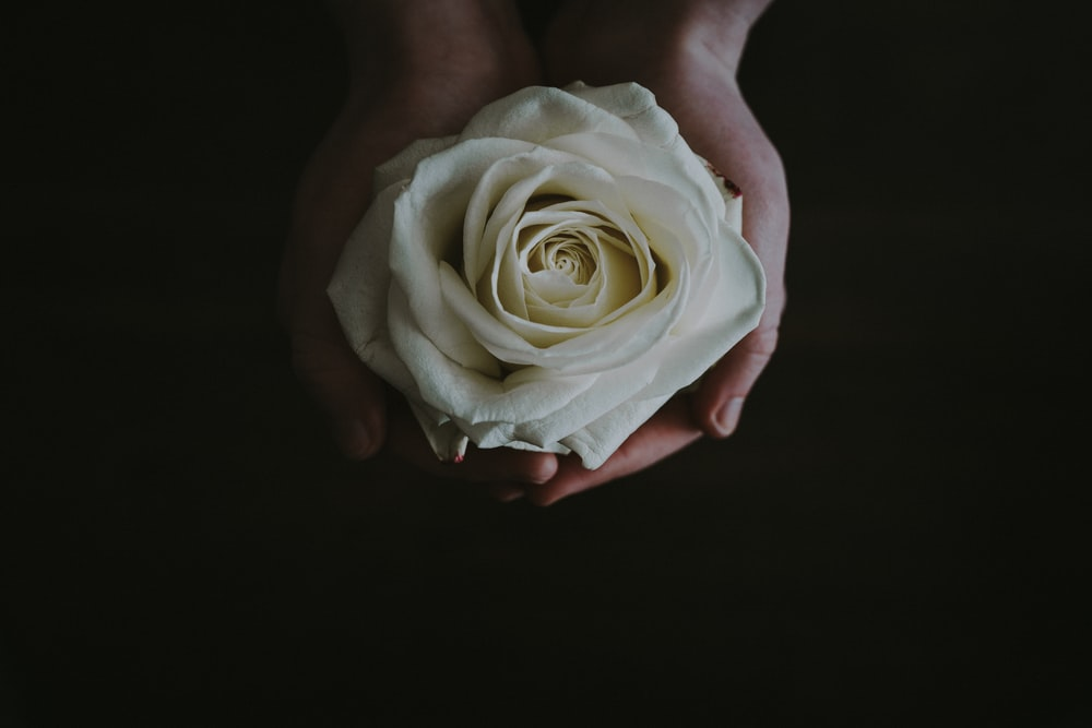 500 white rose pictures hd download free images on unsplash beige rose flower in persons palms mightylinksfo