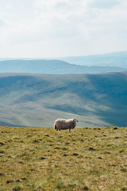 brown sheep on green grass