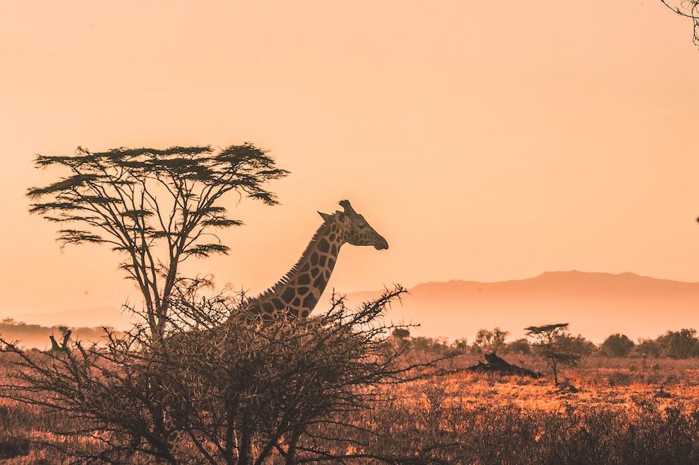 black and white giraffe on brown grass field kenya