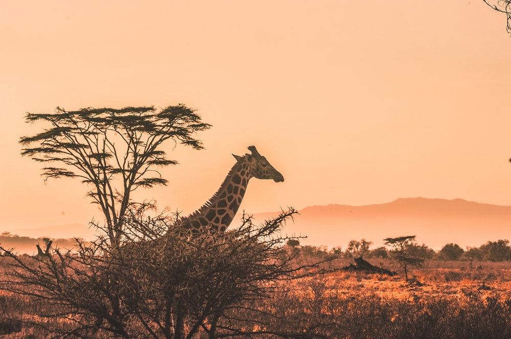 black and white giraffe on brown grass field