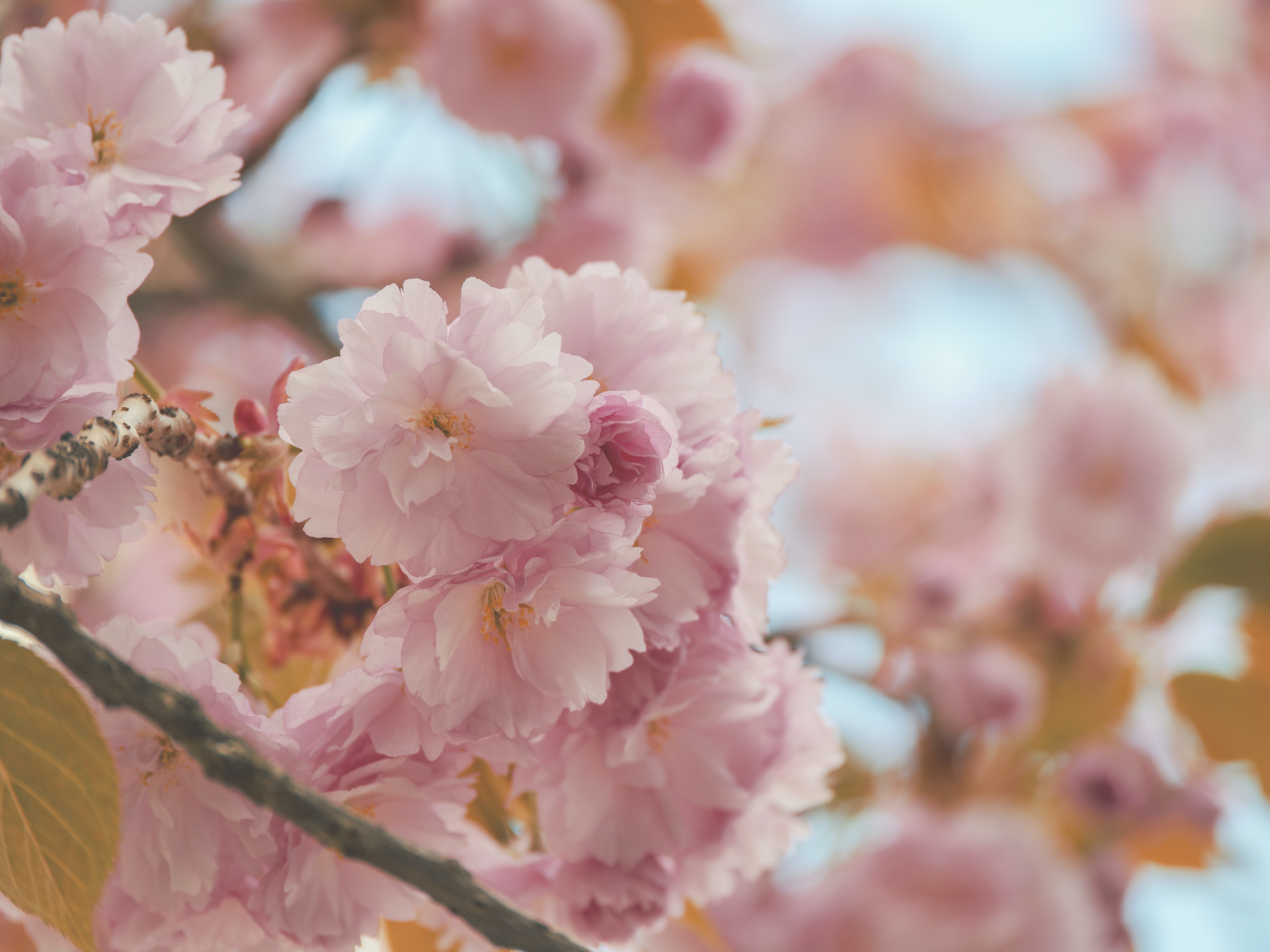 selective focus photography of pink flowering tree