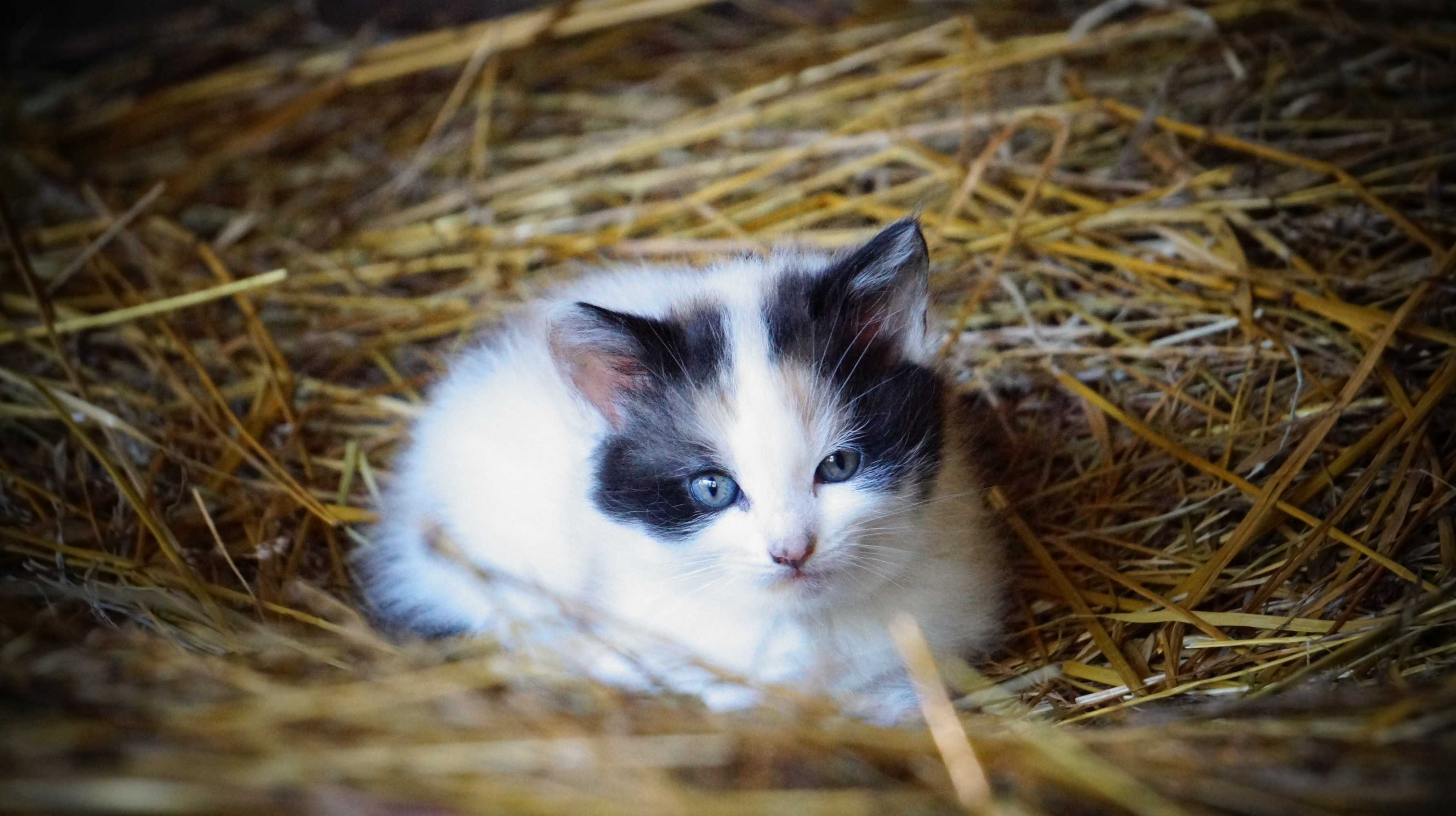cat lying on hay