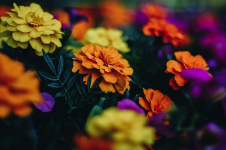 Chrysanthemums Give Fall Gardens Glowing Colors