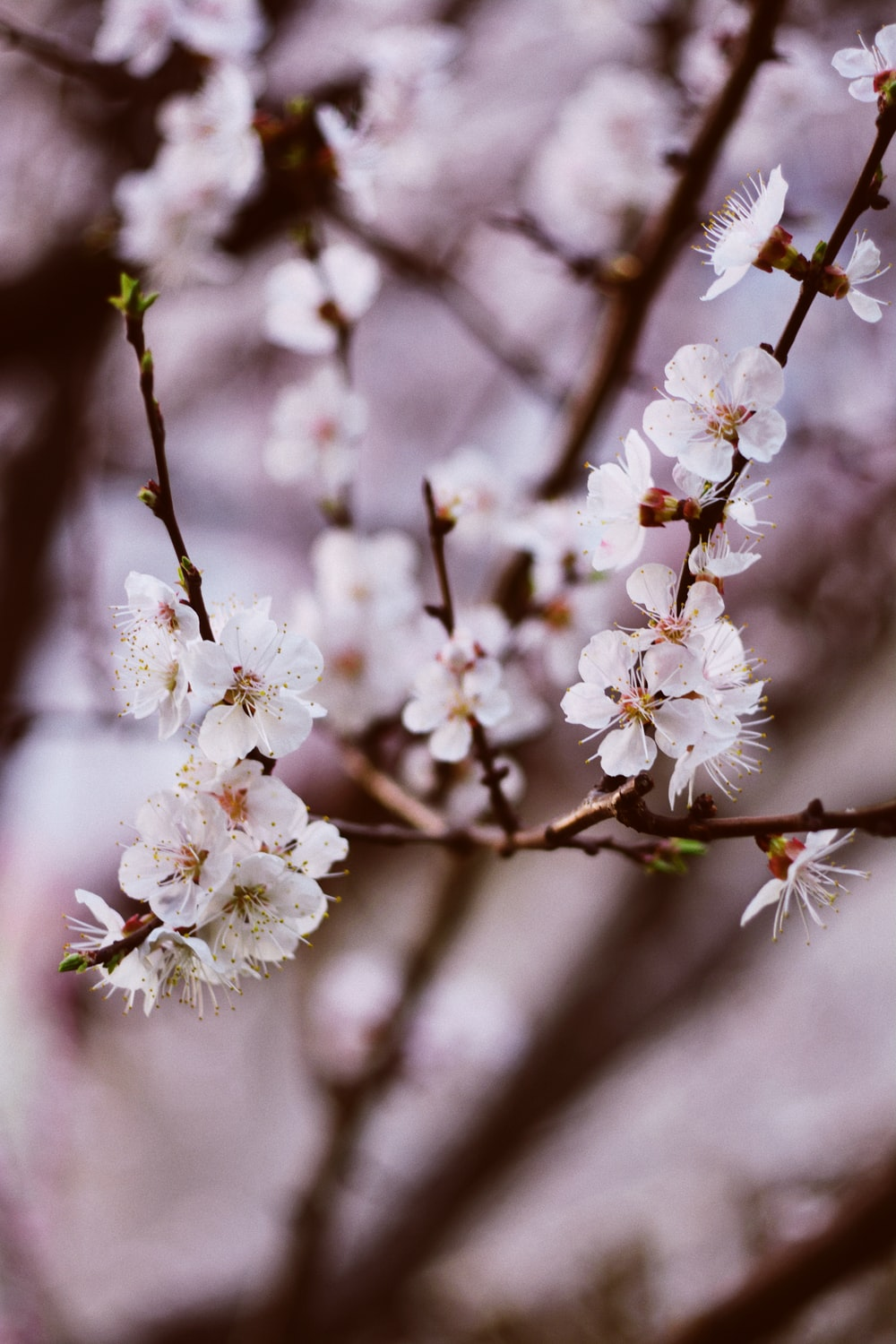 Selective Focus Photography Of White Cherry Blossoms Photo Free