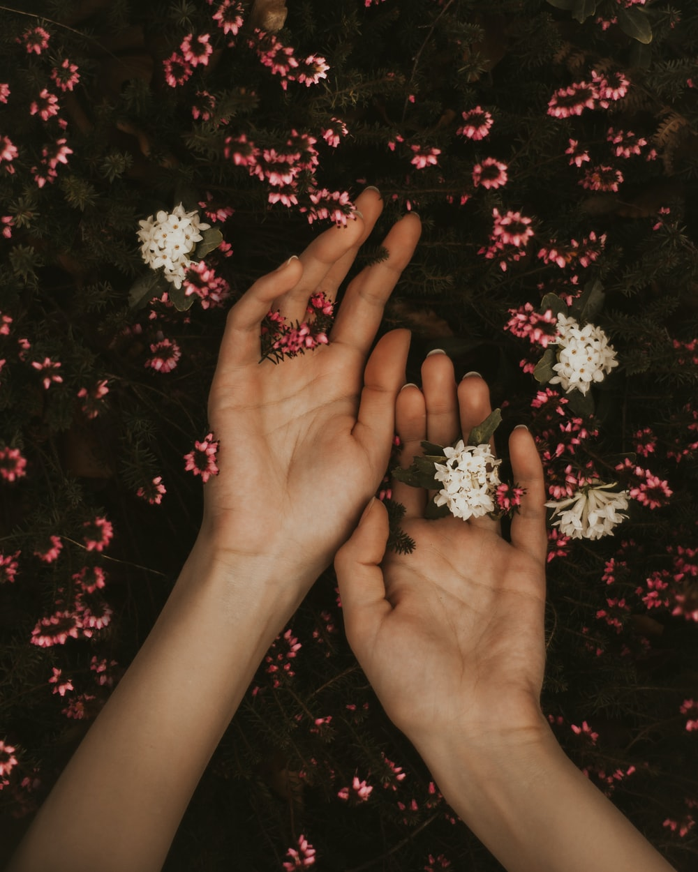person holding white and pink flowers