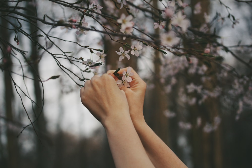 person picking cherry blossom flowers