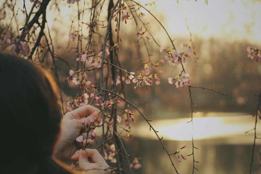 person holding on cherry blossom branch