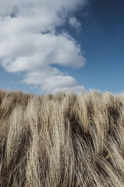 tall grass under cumulus clouds