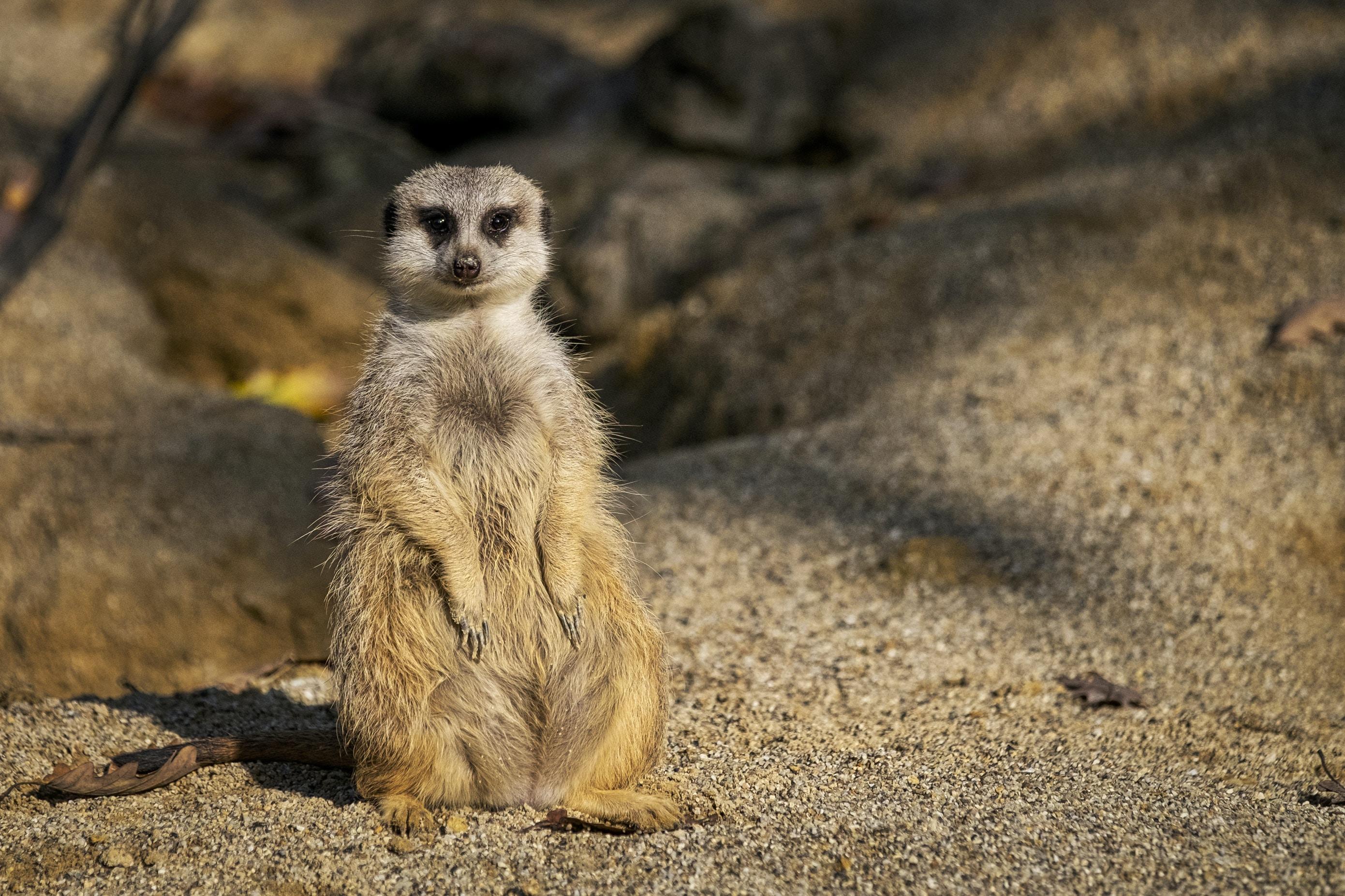 closeup photo of meerkat on sand