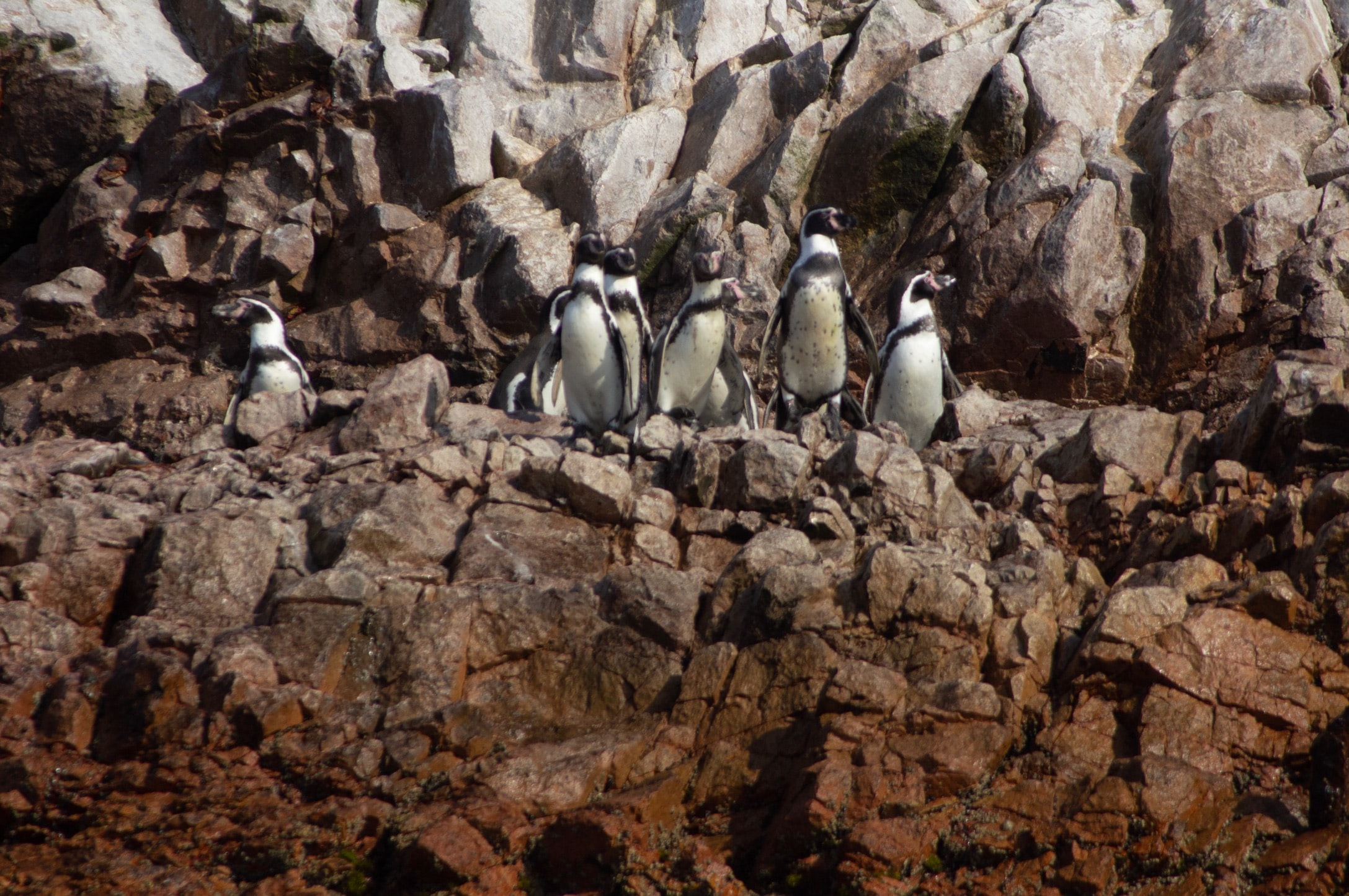 black and white penguins standing on brown boulders during daytime