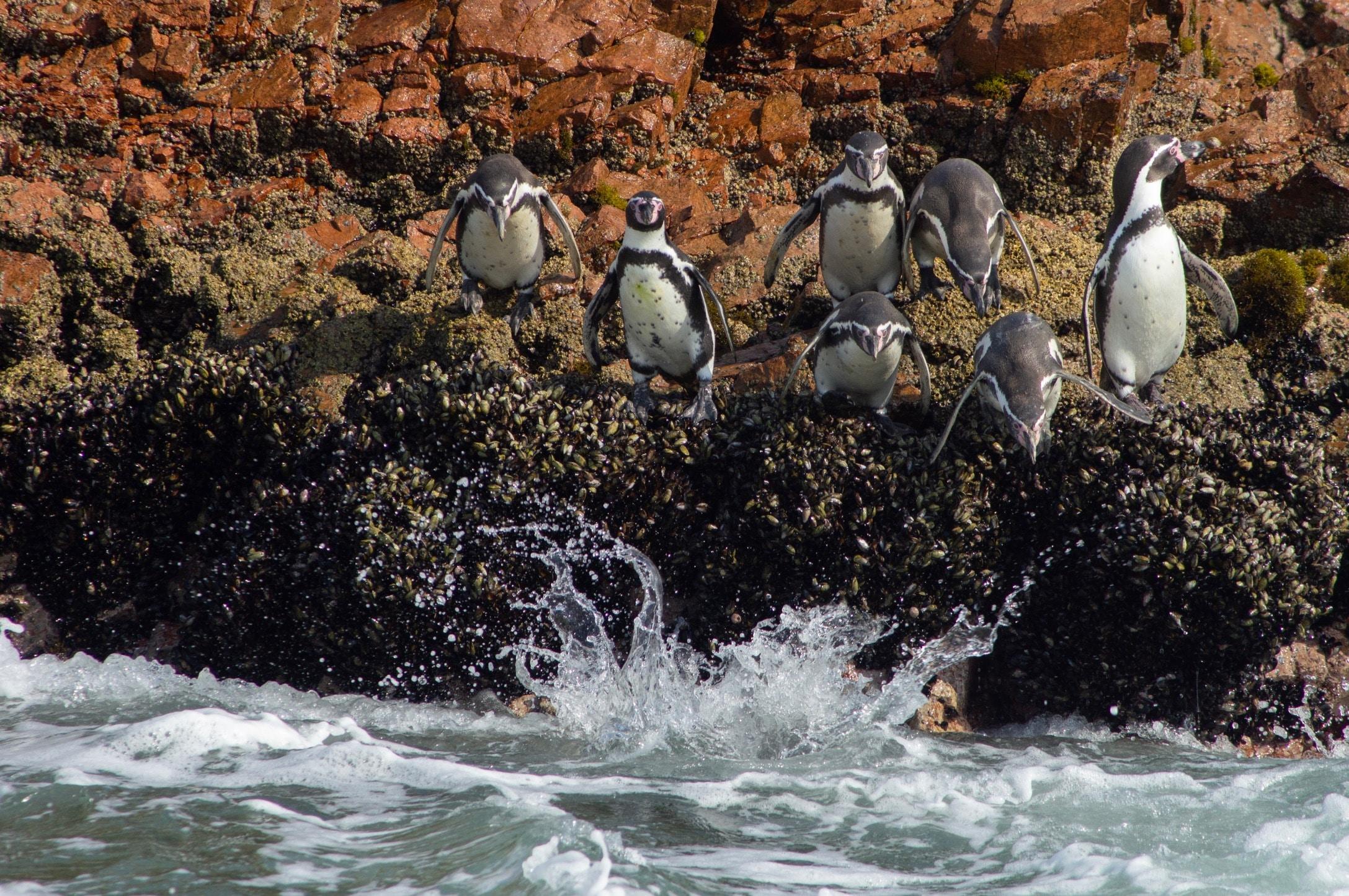 penguin diving in water