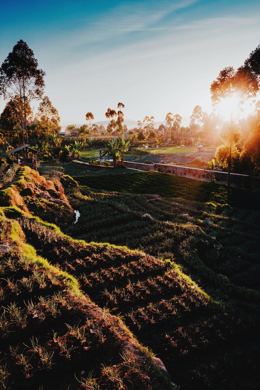 rice field with sunray