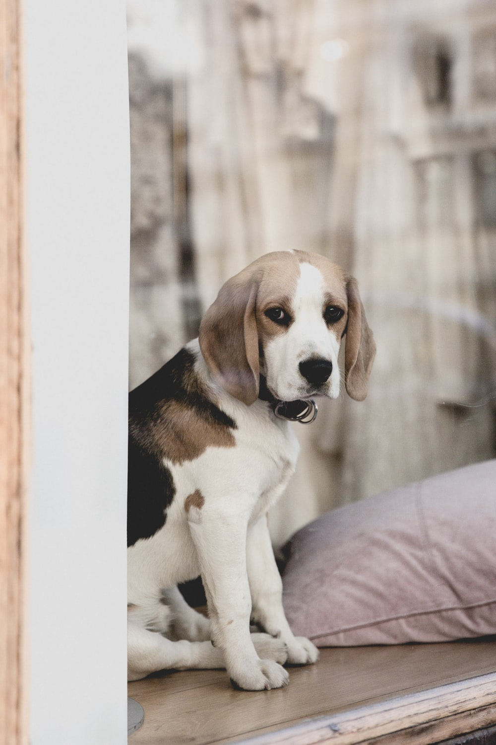 adult Beagle dog on brown wooden surface