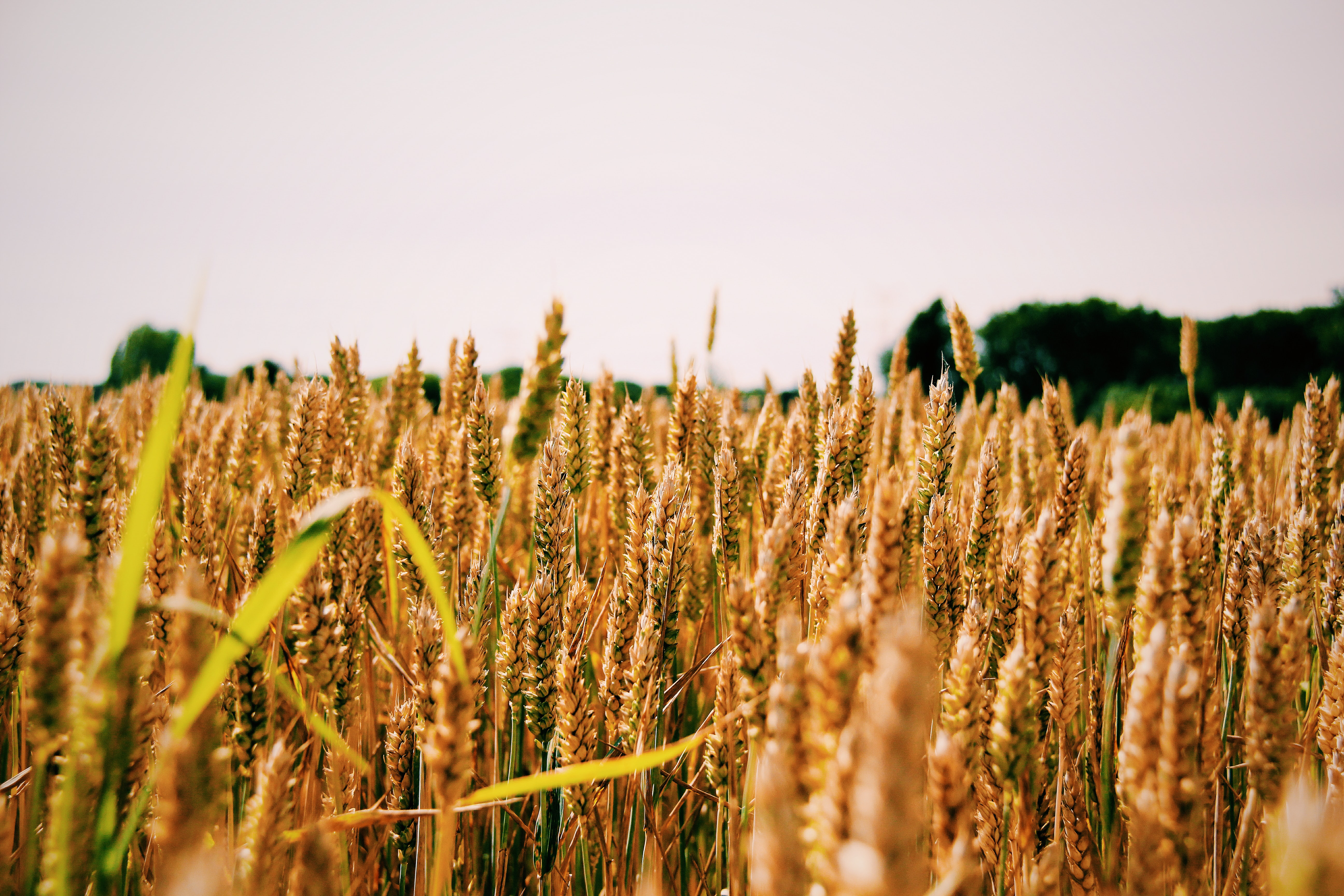 depth of field photography of wheat field
