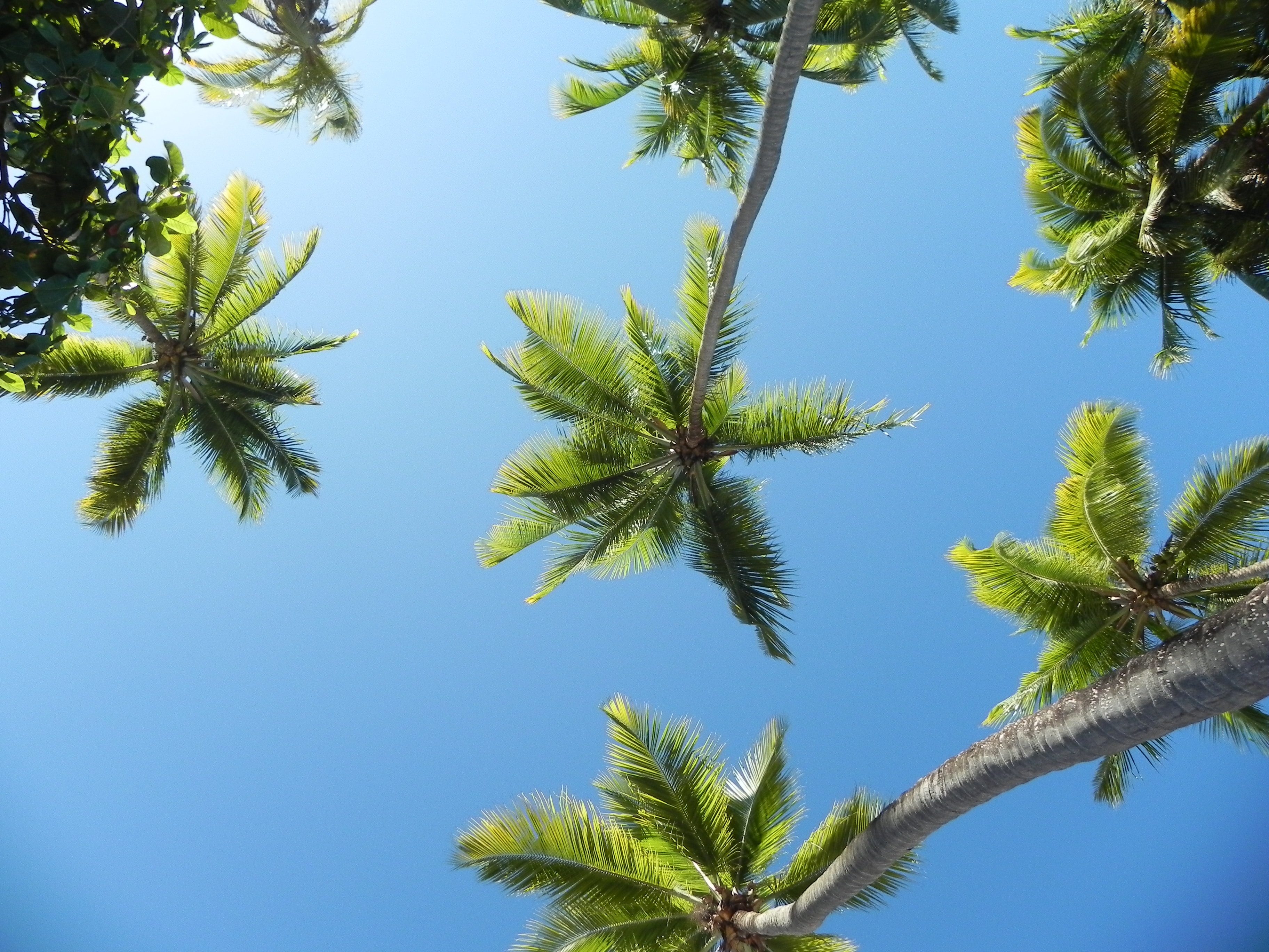 worm's eye view of coconut palm trees