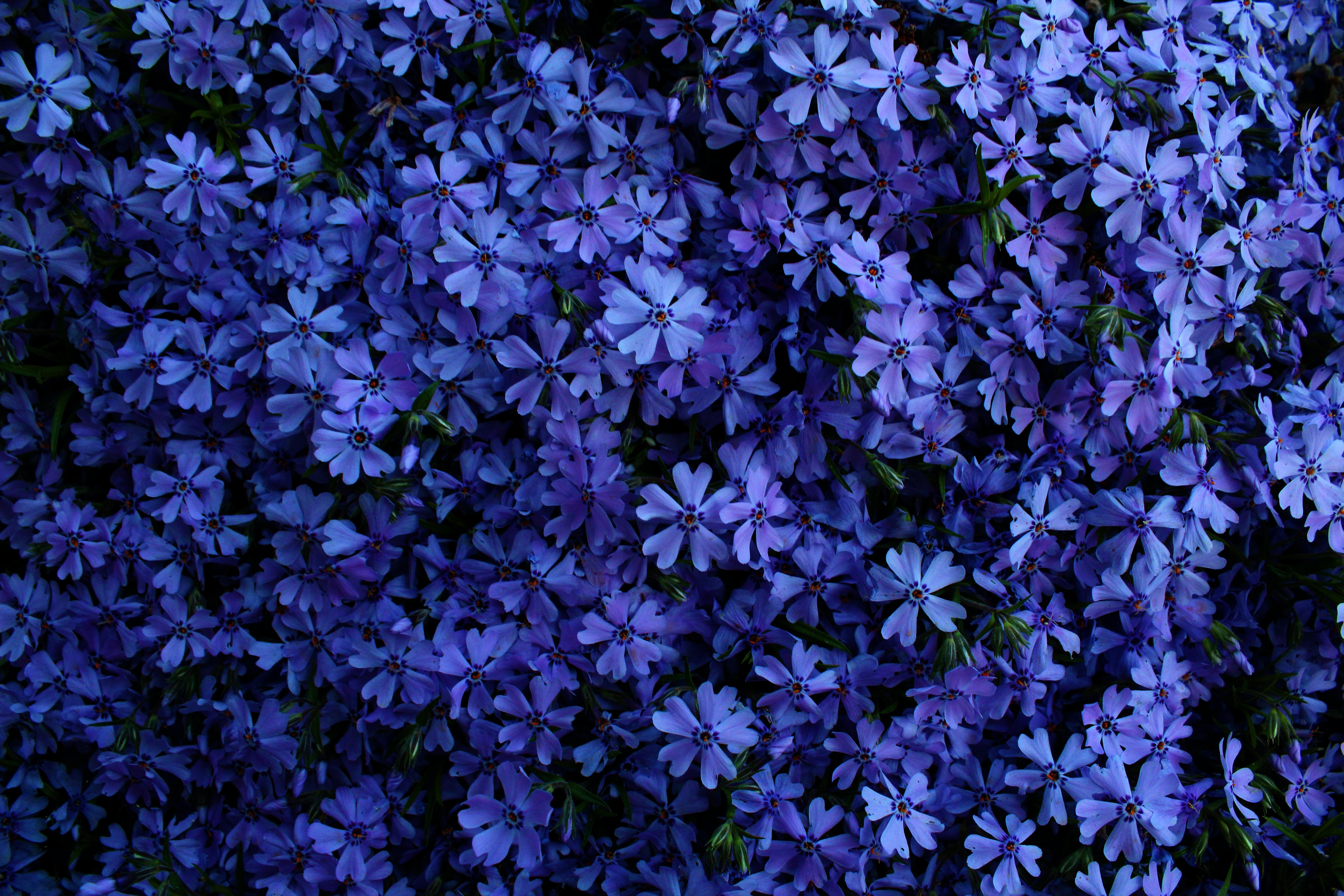 photo of blue petaled floweres