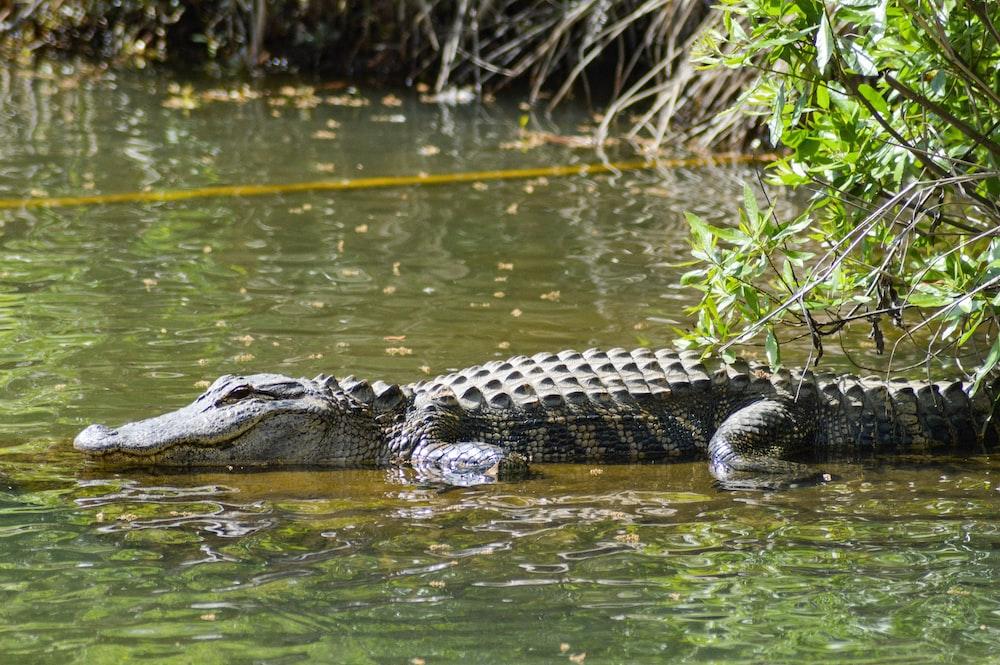 alligator on lake