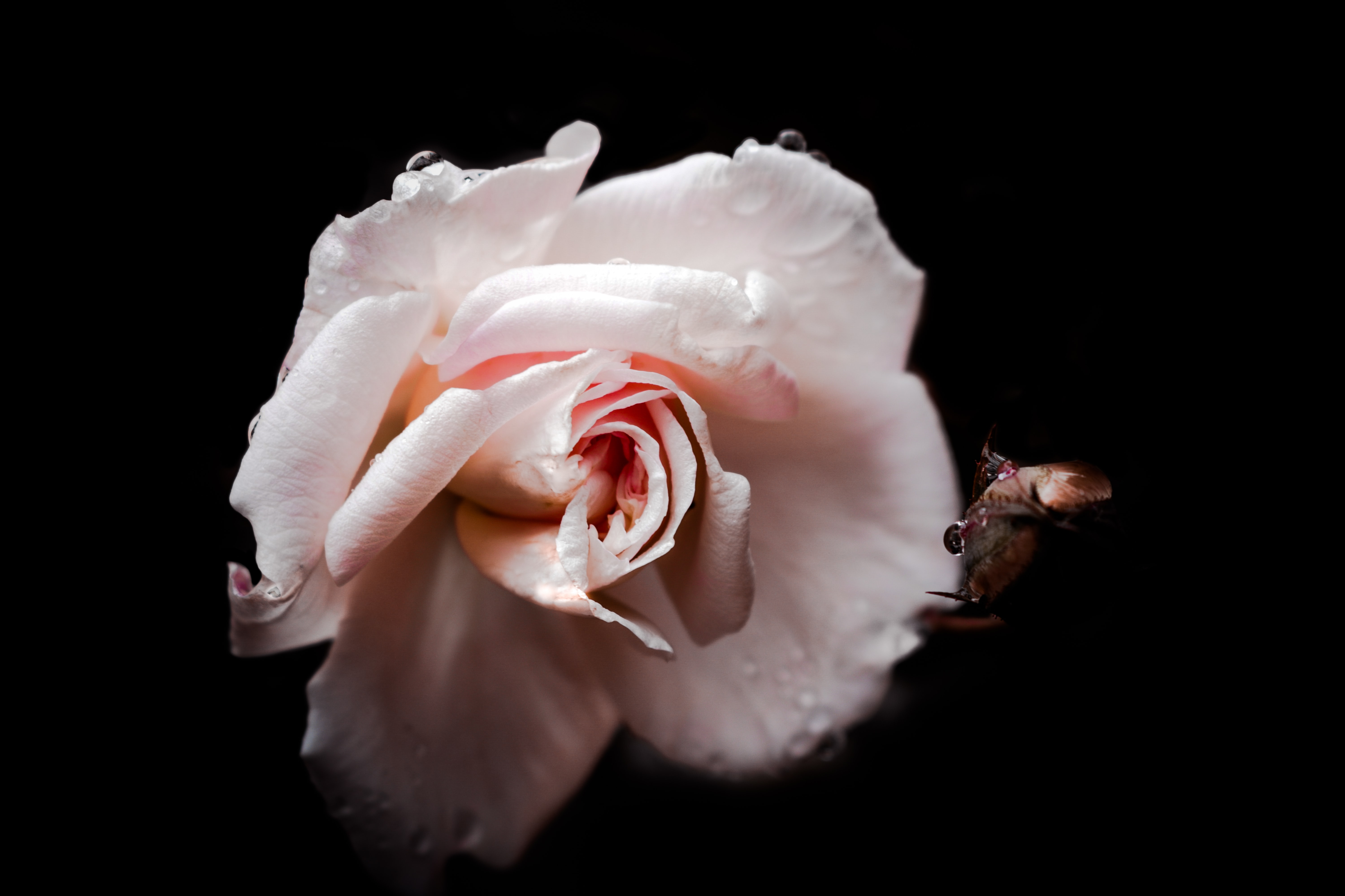 pink rose flower in selective focus photography