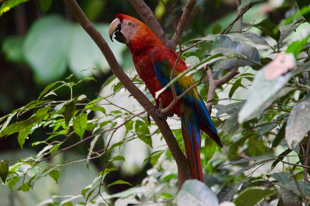closeup photo of red parrot on tree branch