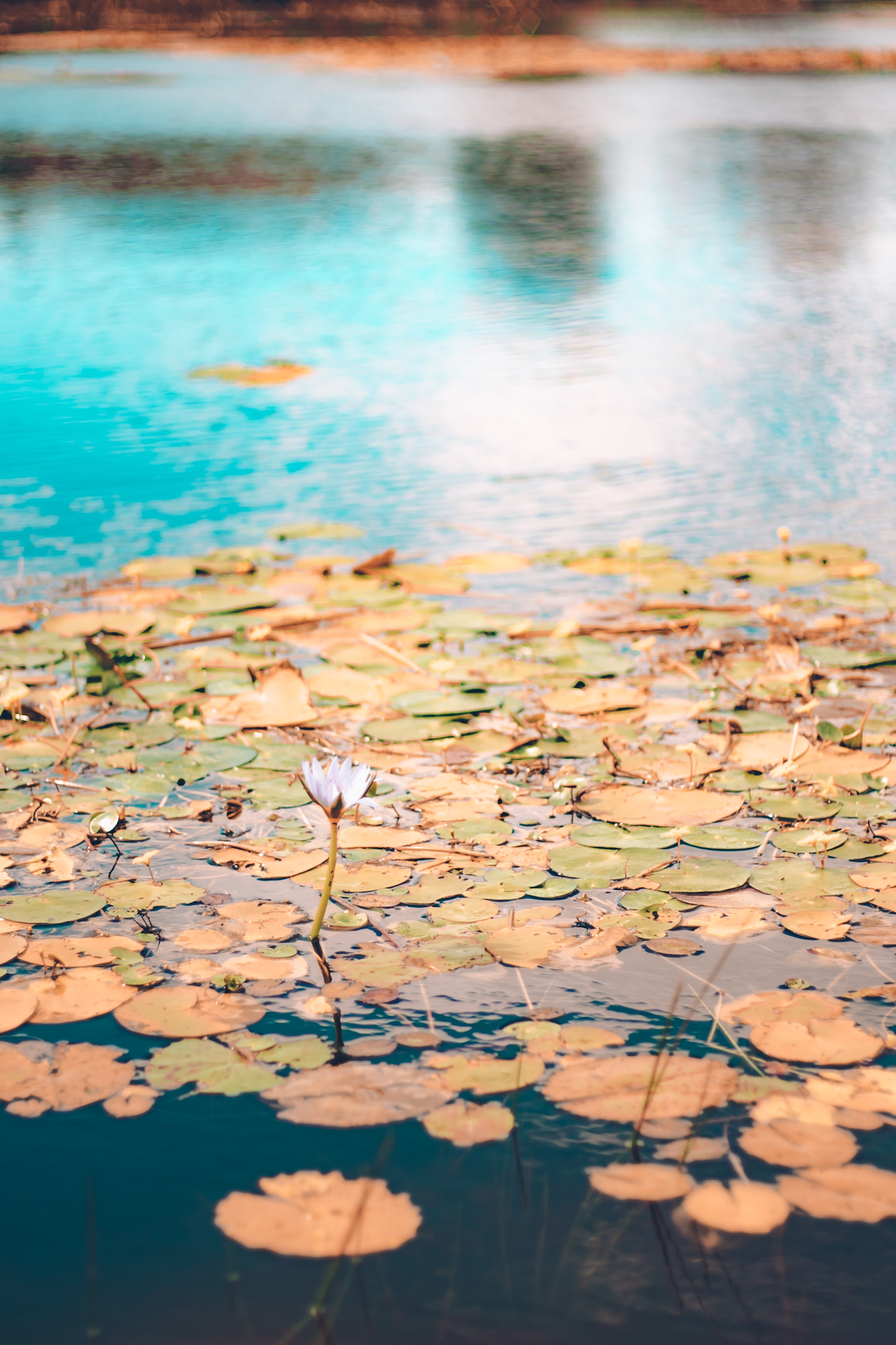 shallow focus photography of lily pads