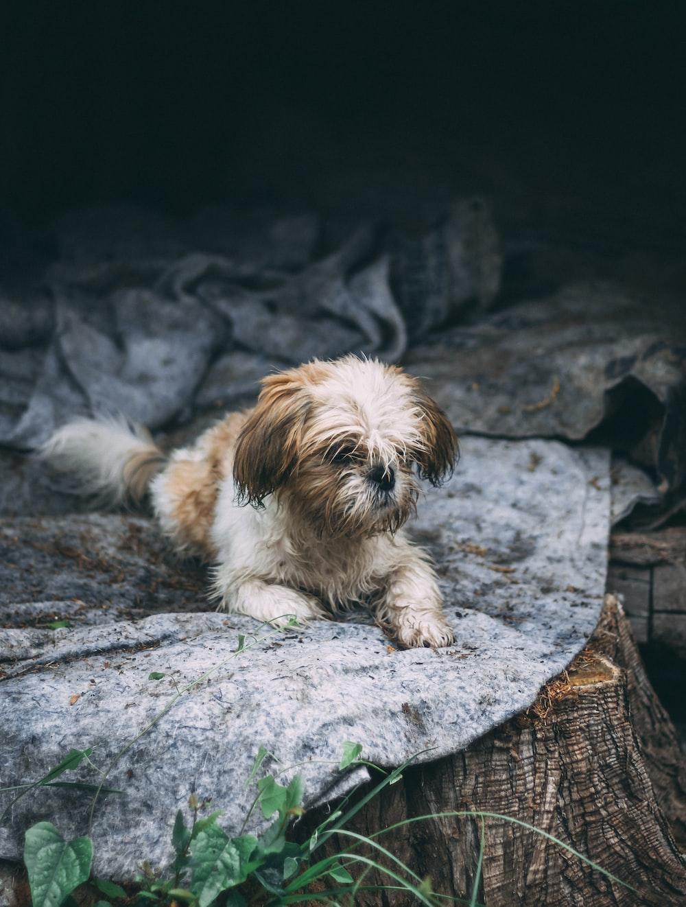Shih Tzu resting on rock