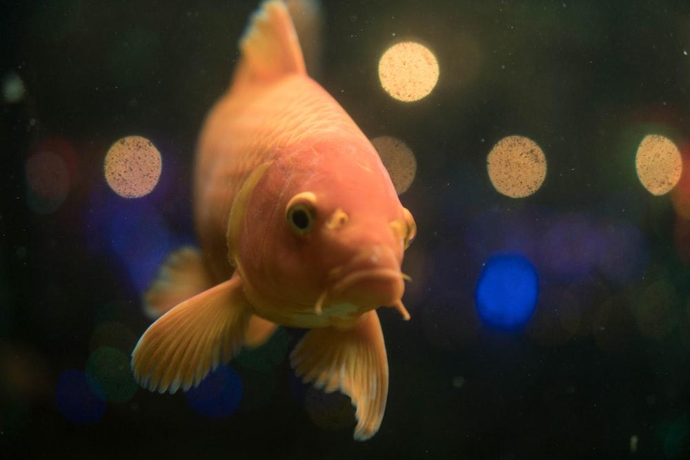 shallow focus of orange fish