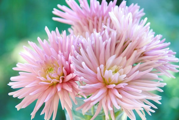 cactus Delilah flower