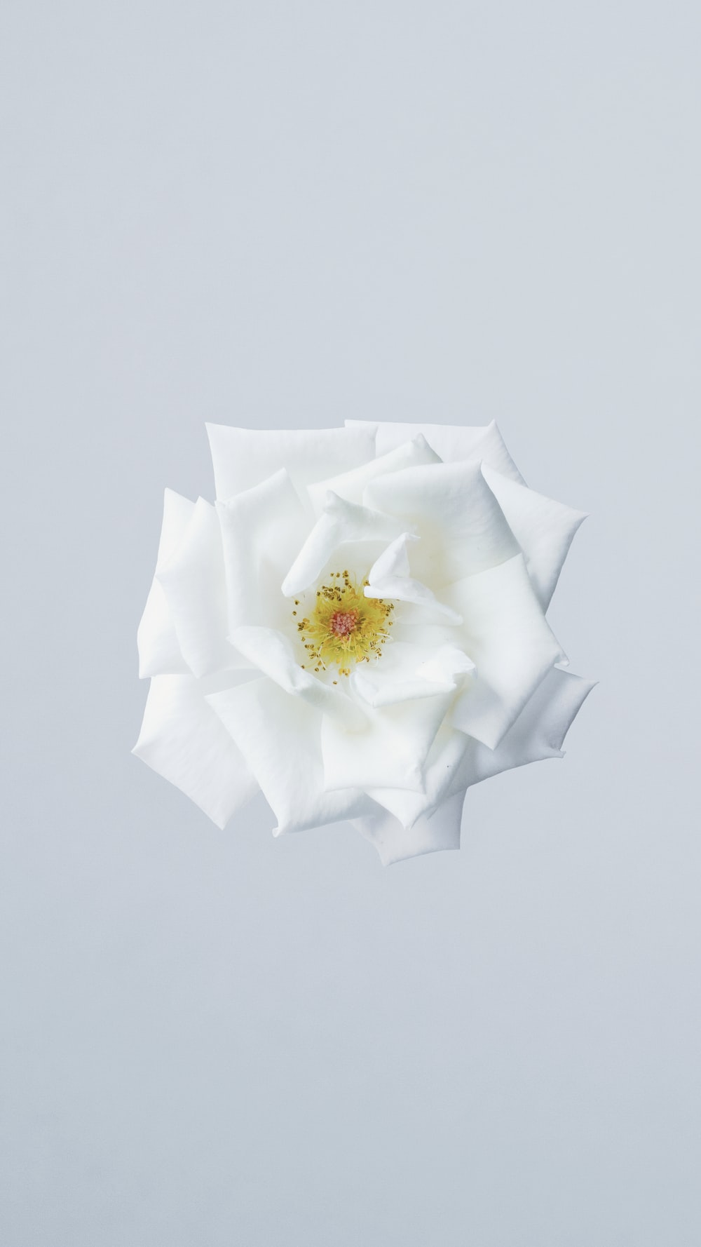100 white flower pictures download free images on unsplash white flower mightylinksfo