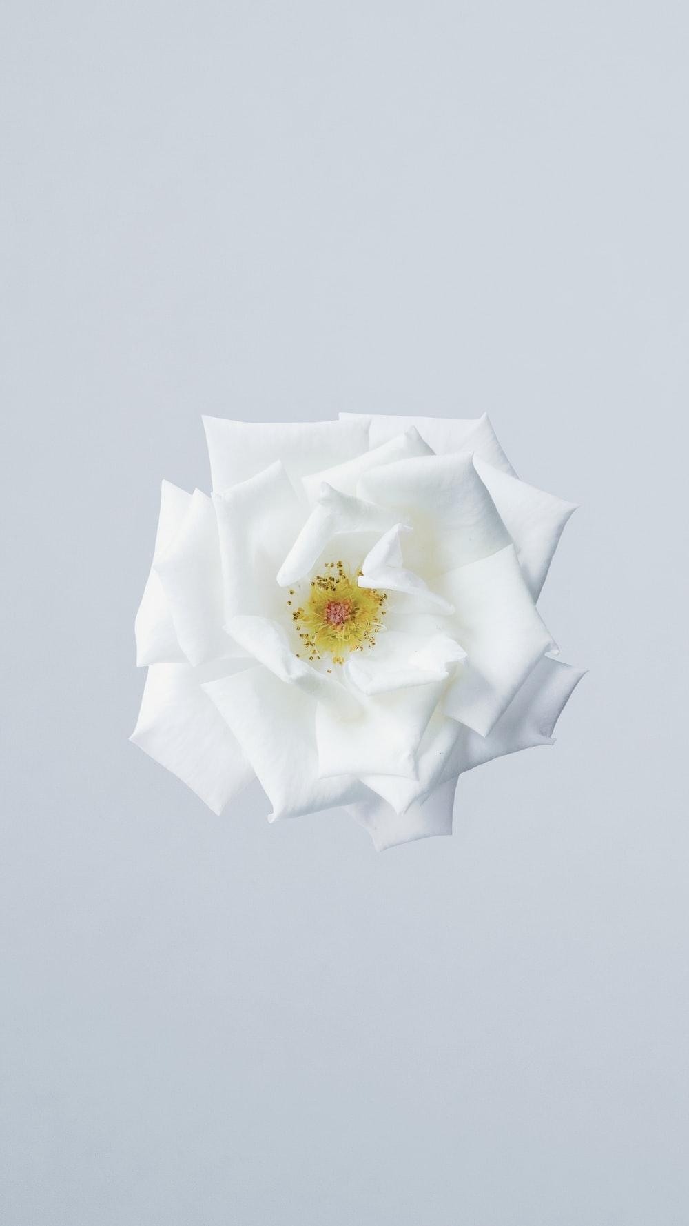 White Rose Photo By Majid Rangraz Majidrangraz On Unsplash