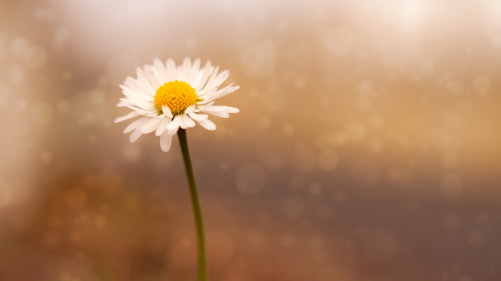 selective focus photography of daisy flower