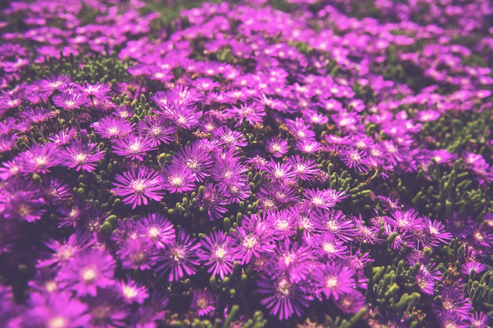 Ground cover pictures download free images on unsplash field of purple lantana flowers mightylinksfo
