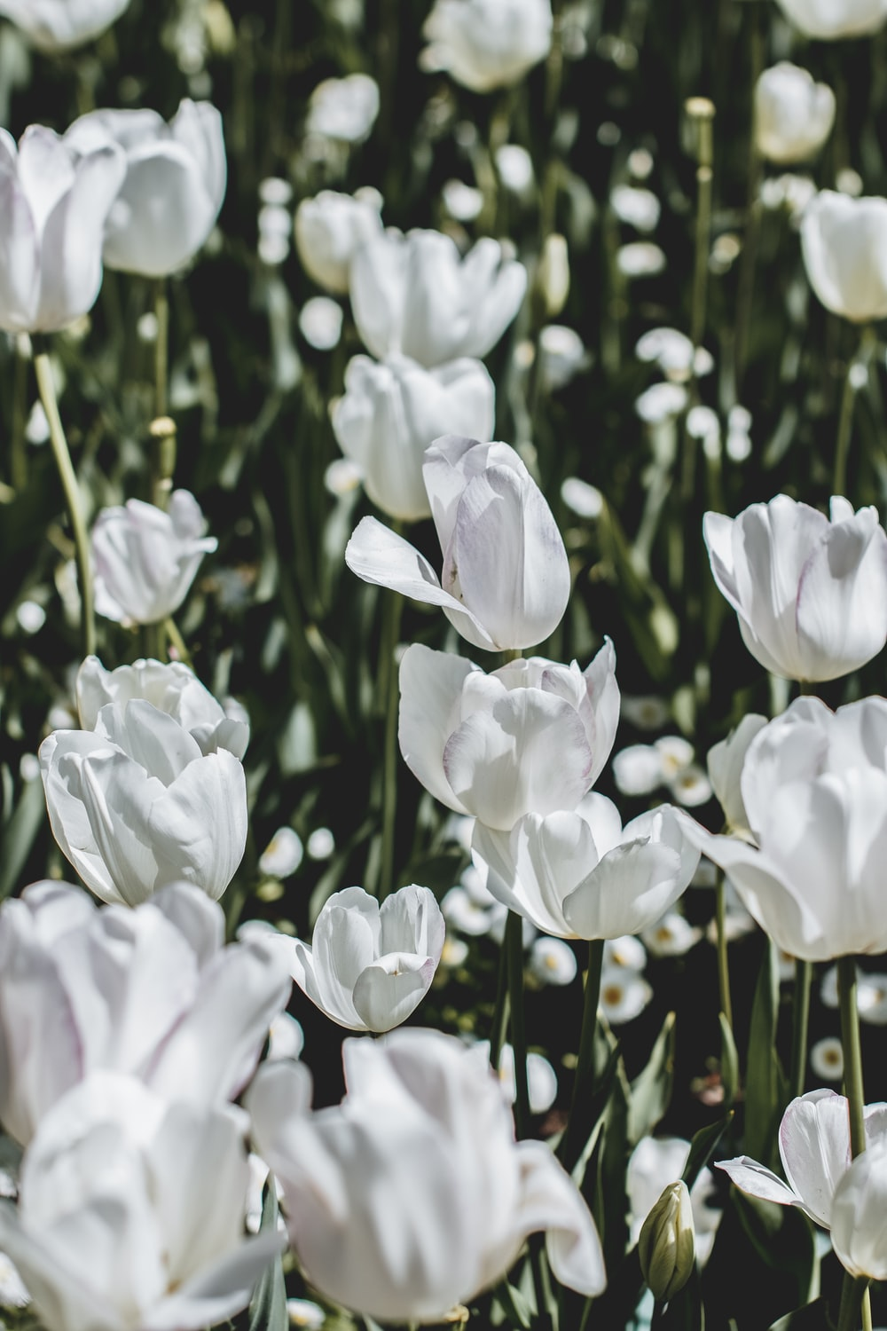 bed of white tulip flowers